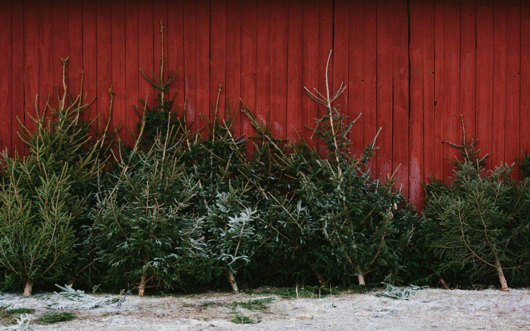 Julgran – Hugga själv, köpa färdighuggen